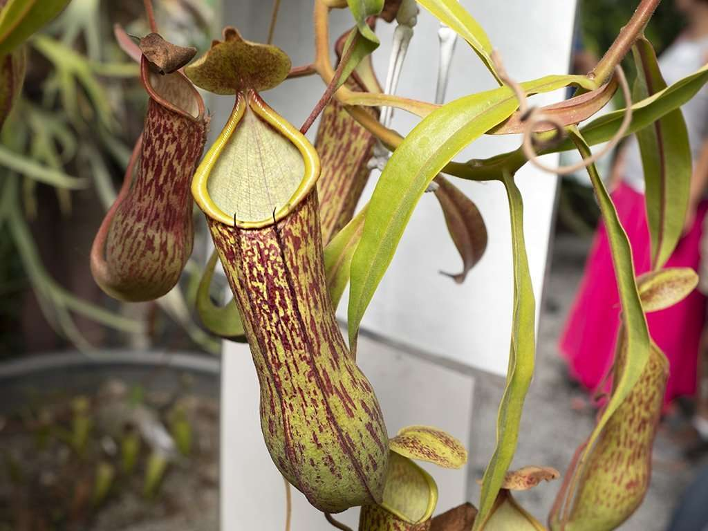 Nepenthes alata spotted tropical pitcher plant