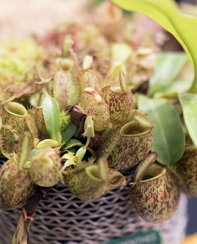 Nepenthes ampullaria pitcher plant photo