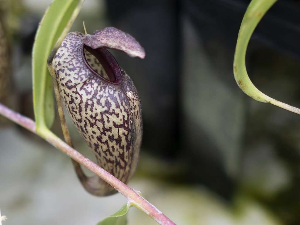 Nepenthes aristolochioides bulbous pitcher