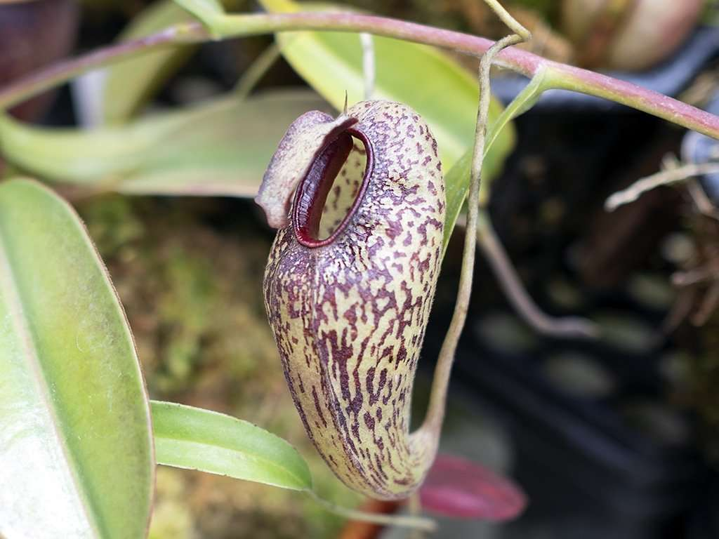 Nepenthes aristolochioides pitcher