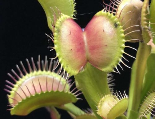 Carnivorous Plants: A Beginner's Basic Grow Guide