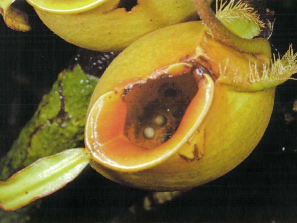 frog eggs in a Nepenthes ampullaria pitcher
