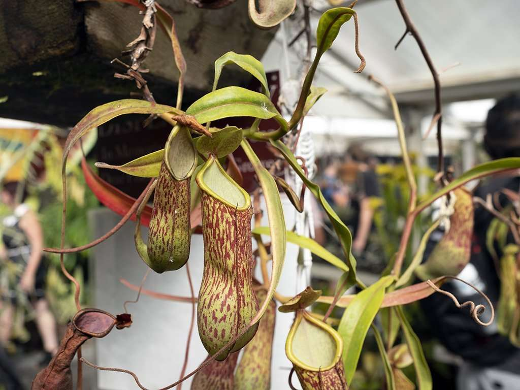 vining Nepenthes alata speckled