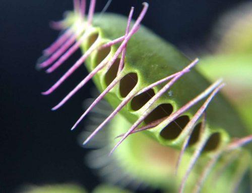 The Cilia of the Venus Flytrap