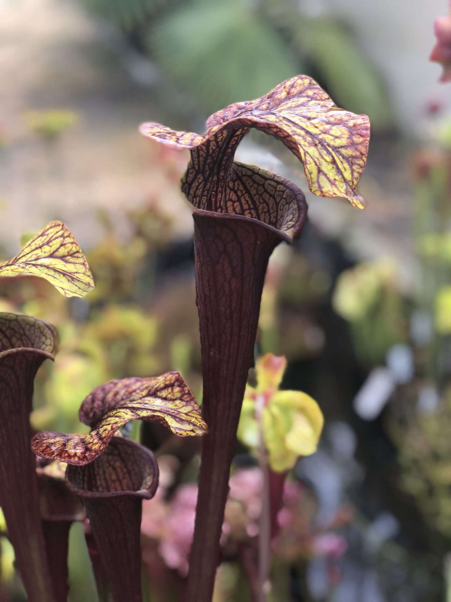 black widow pitcher plant - Sarracenia alata black throat x flava rubicorpora
