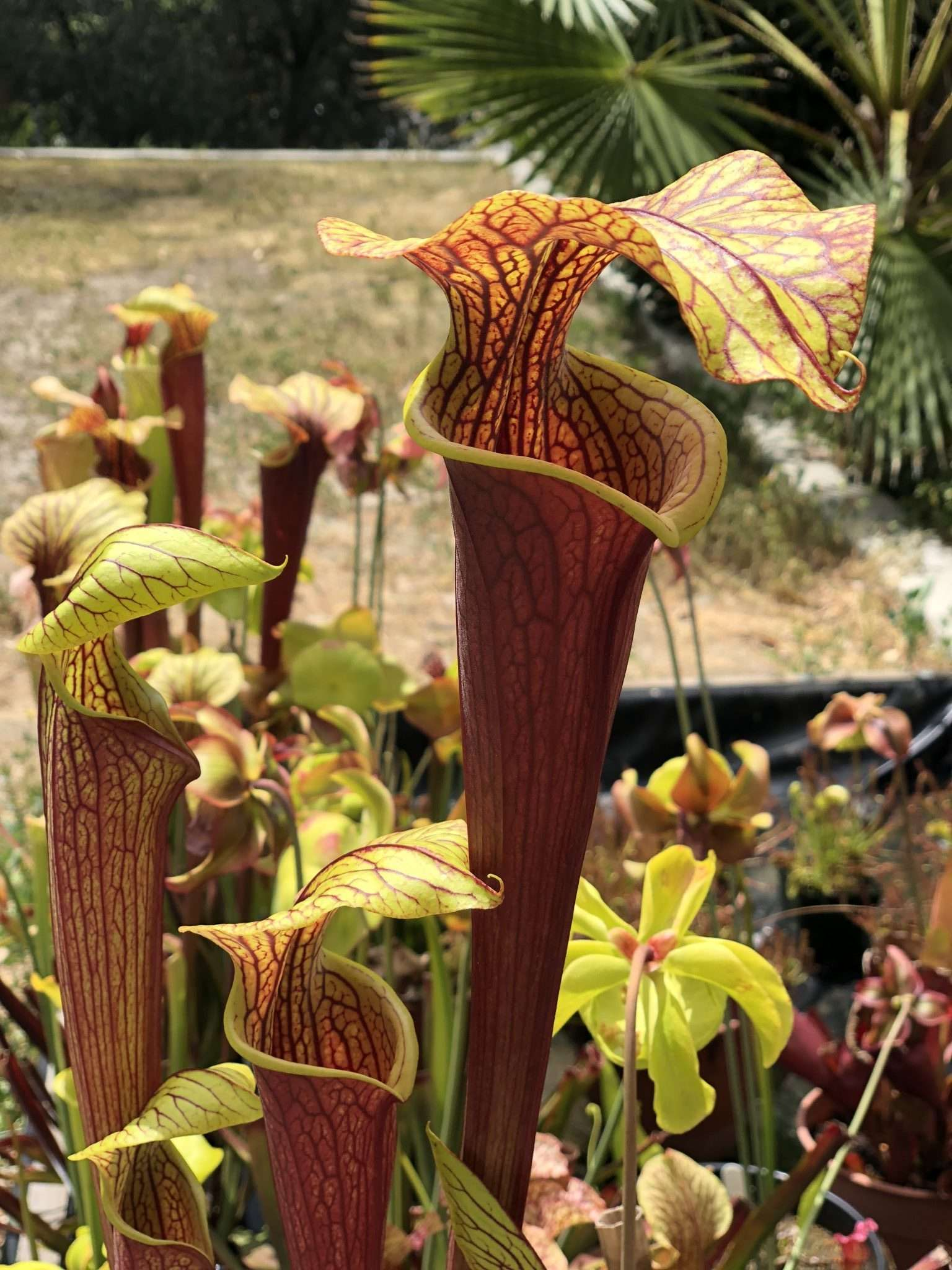 Sarracenia alata black throat x flava red
