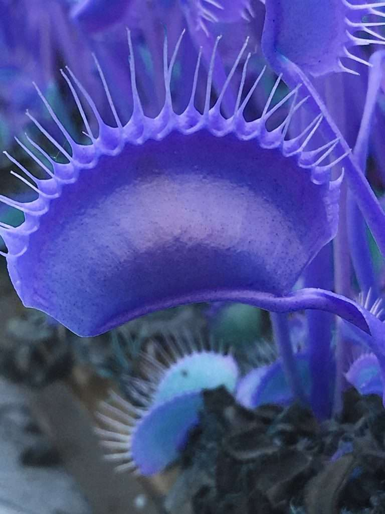 Blue Venus flytraps are fake