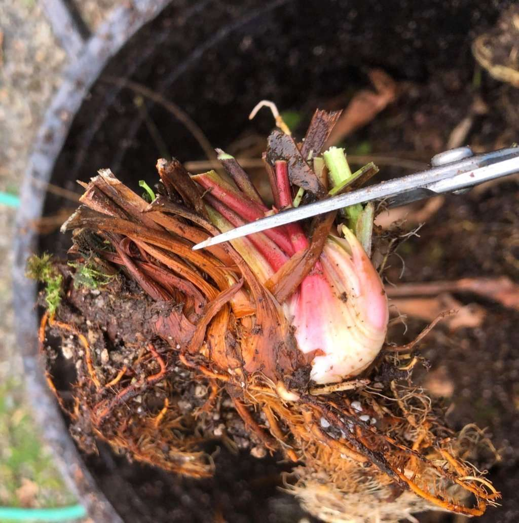 Cutting old growth on Sarracenia rhizome