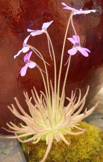 Pinguicula gypsicola specimen