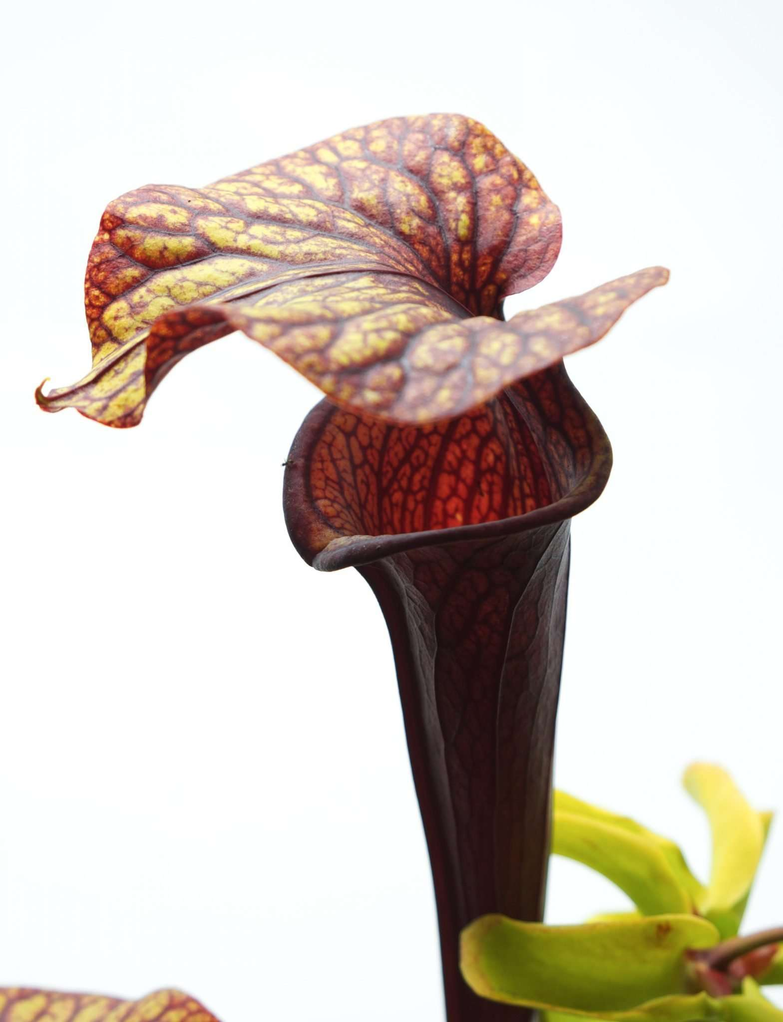 Sarracenia Black Widow - alata black throat x flava red pitcher