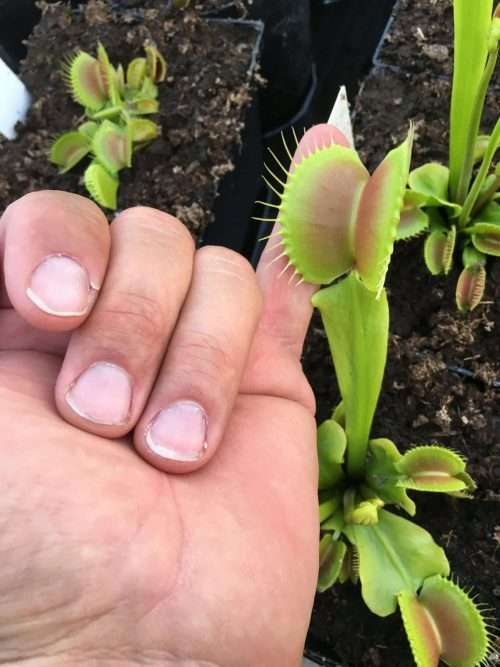 Venus flytrap King Henry trap size