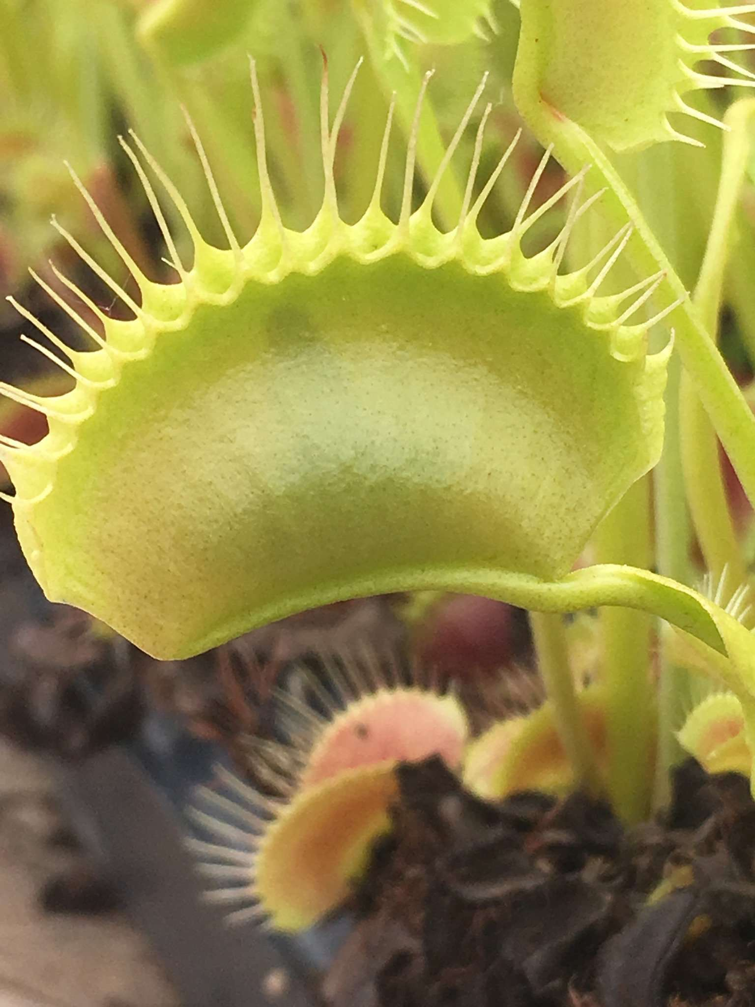Venus flytrap with food