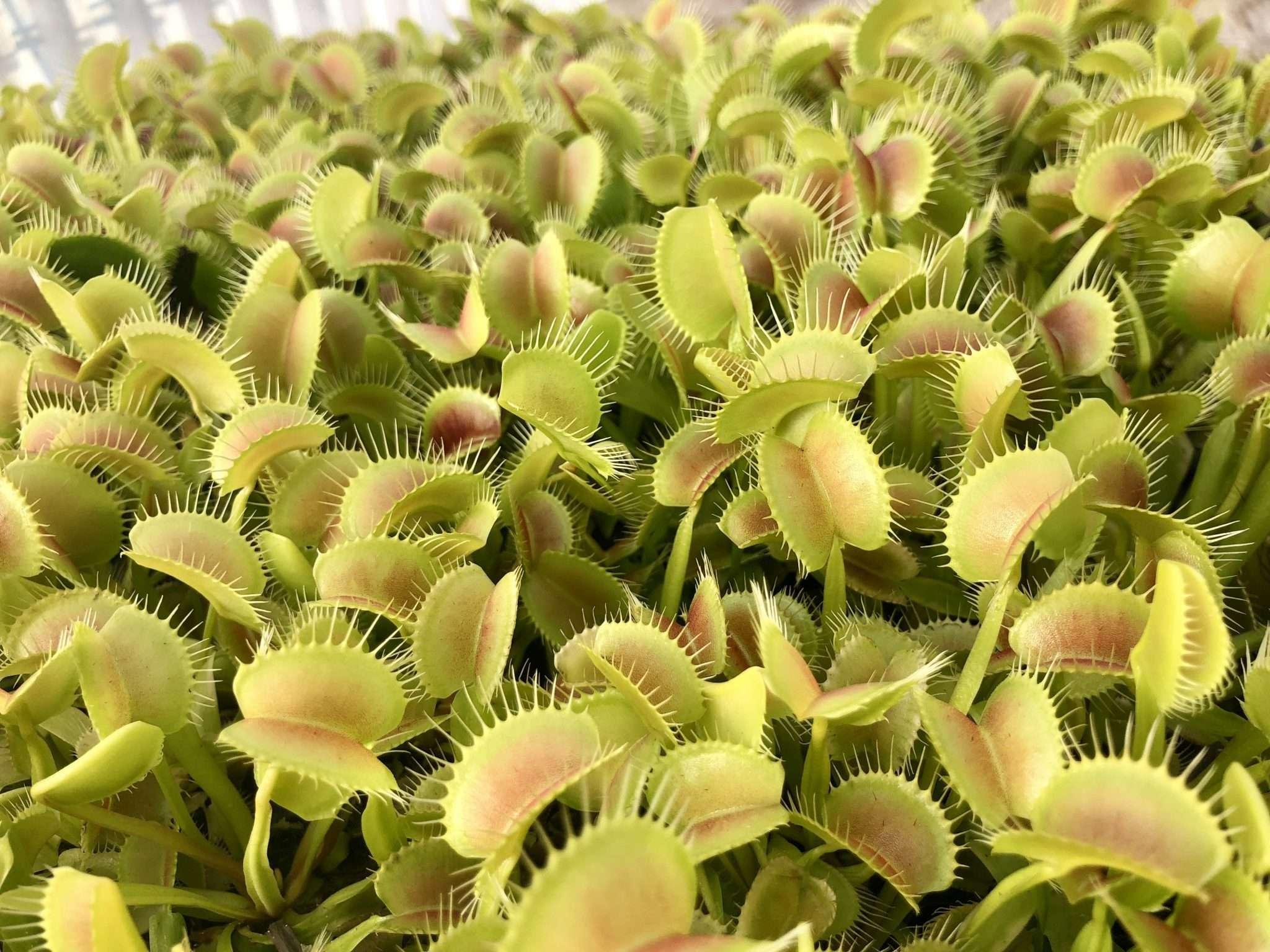 Venus flytraps for sale