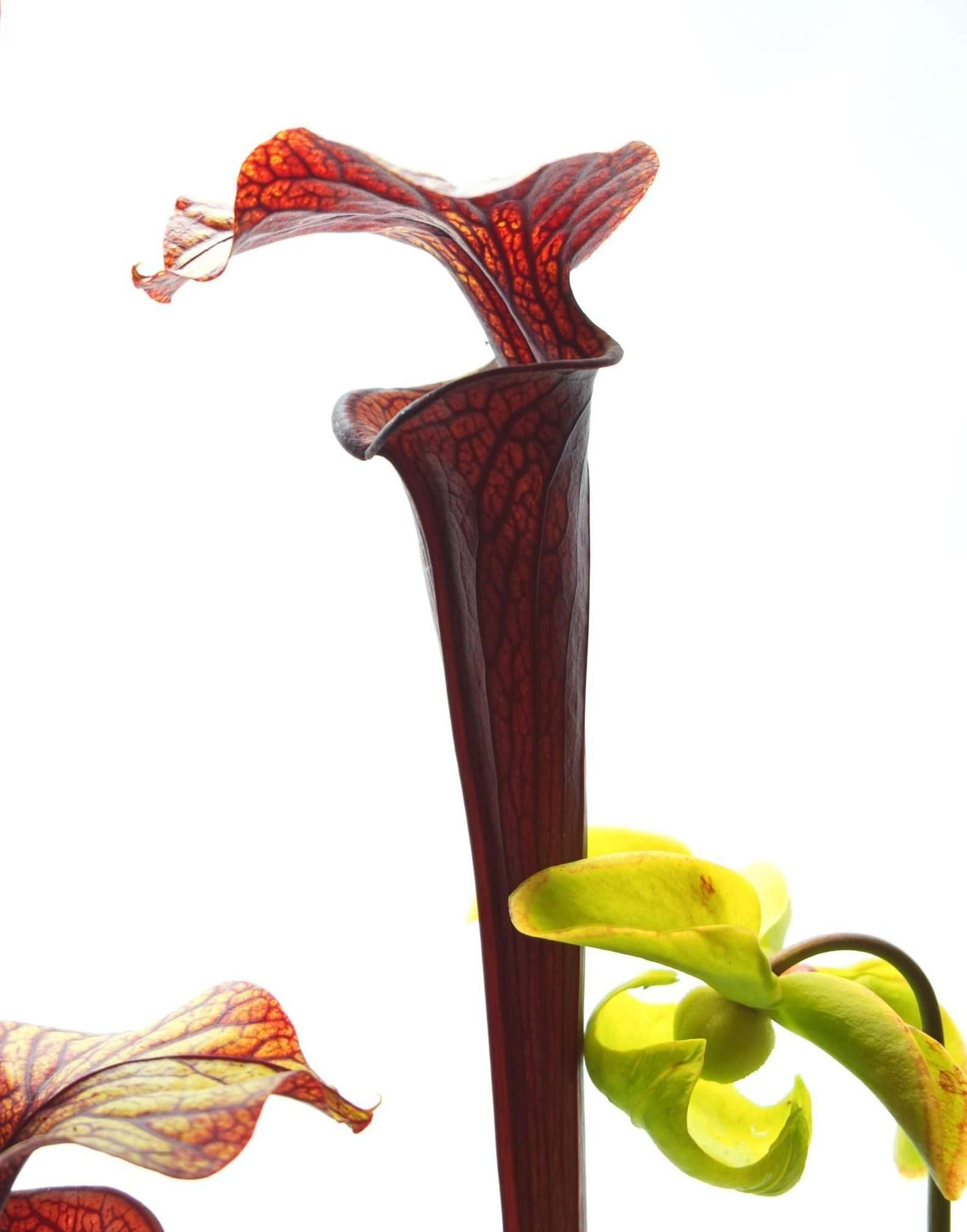 Sarracenia black widow - cross between alata black throat and flava red