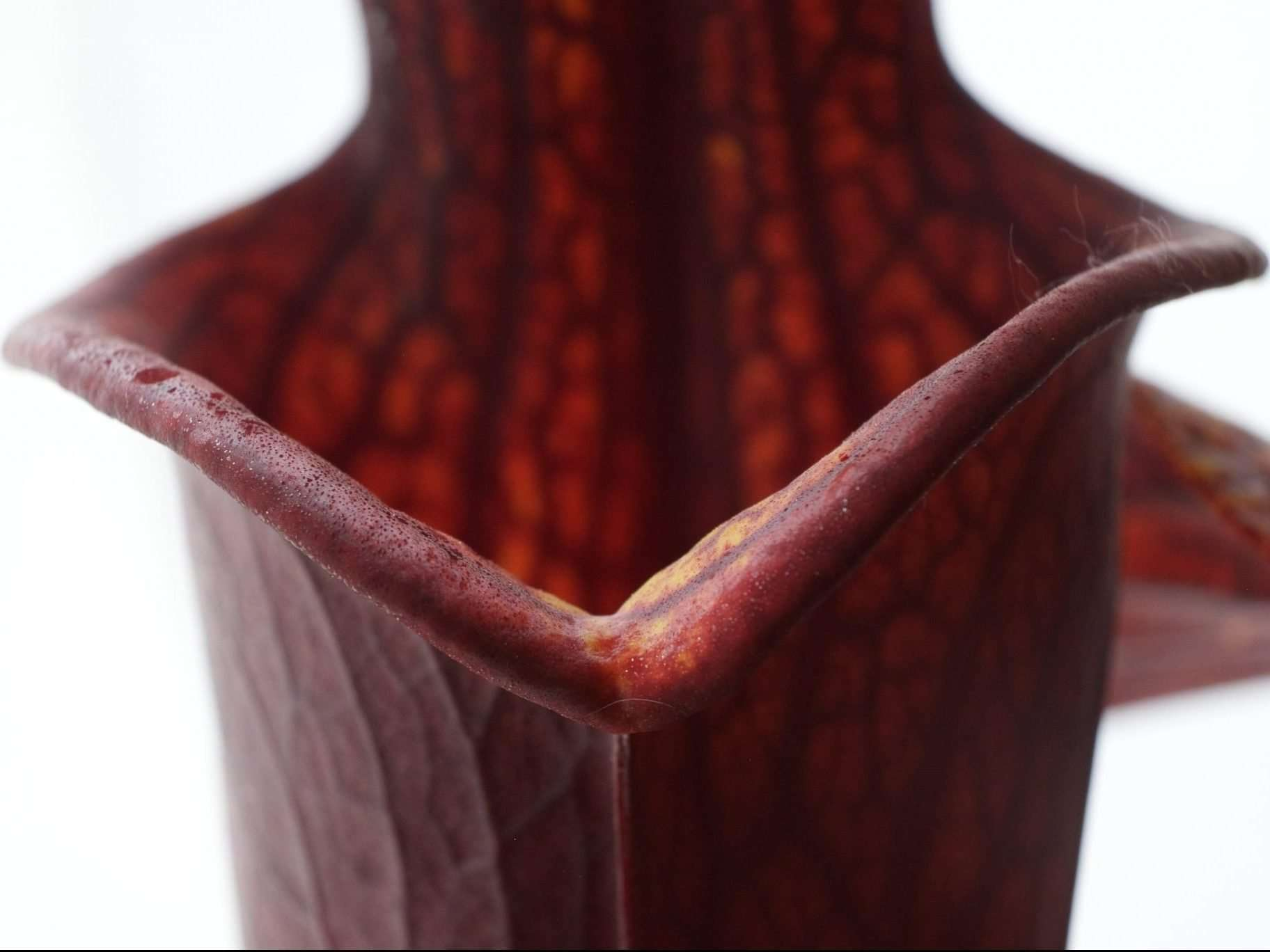 lip of Sarracenia black widow