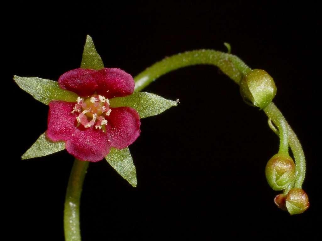 The trap of a Venus flytrap Dentate