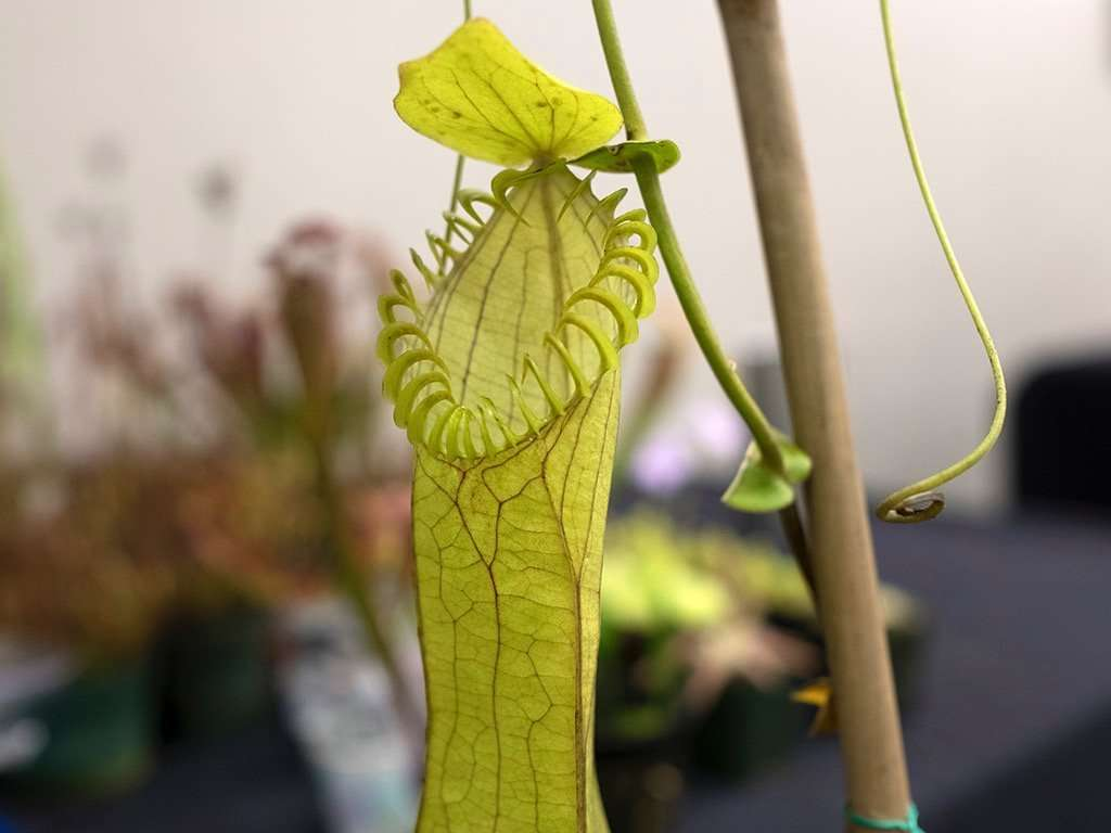 Nepenthes hamata upper pitcher at ICPS 2018 Conference