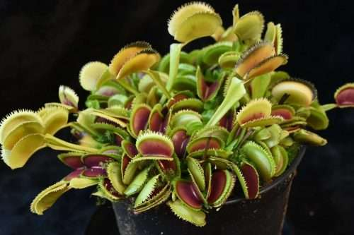 dionaea German dentate