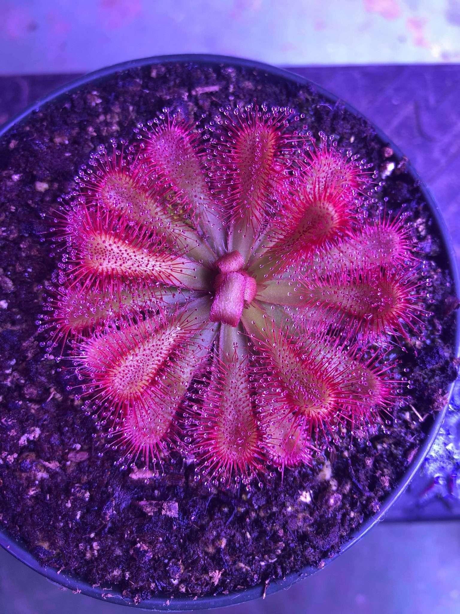 Drosera esterhuyseniae x slackii rosette