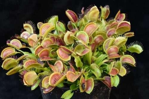 dionaea crested petiole