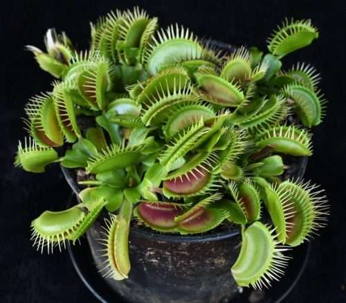 Dionaea fine tooth x red