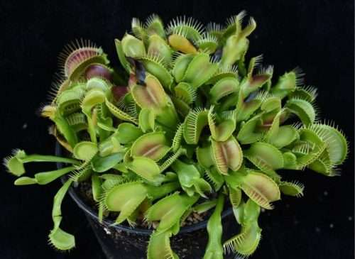 dionaea crocodile