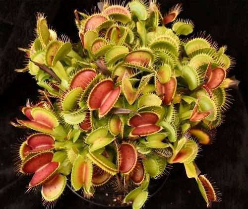 dionaea ginormous
