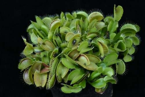 dionaea cheerleader