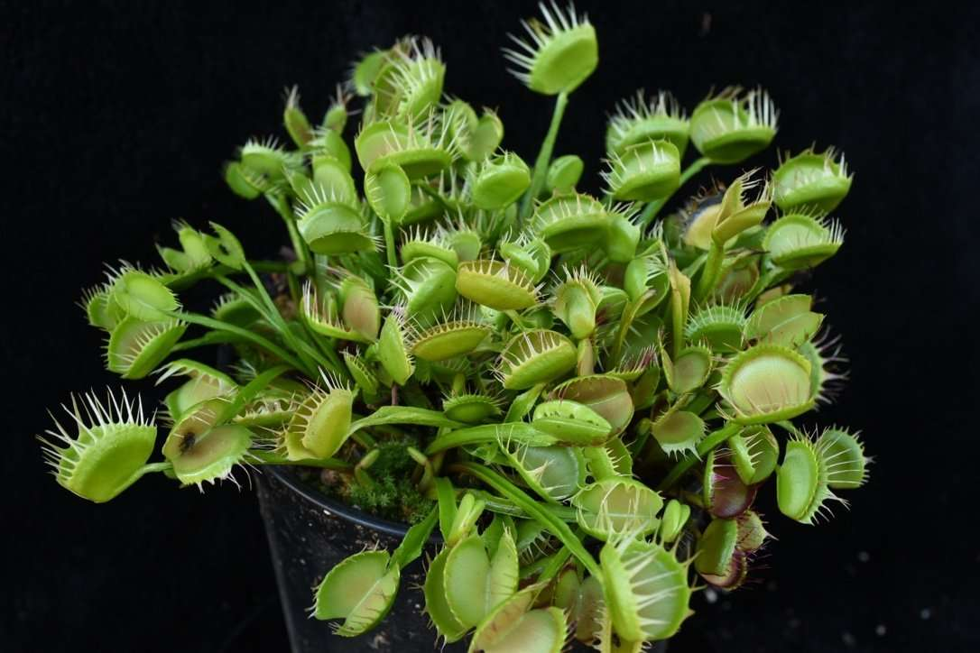 dionaea cross teeth