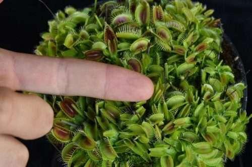 dionaea pygmy neotenic clone d tiny
