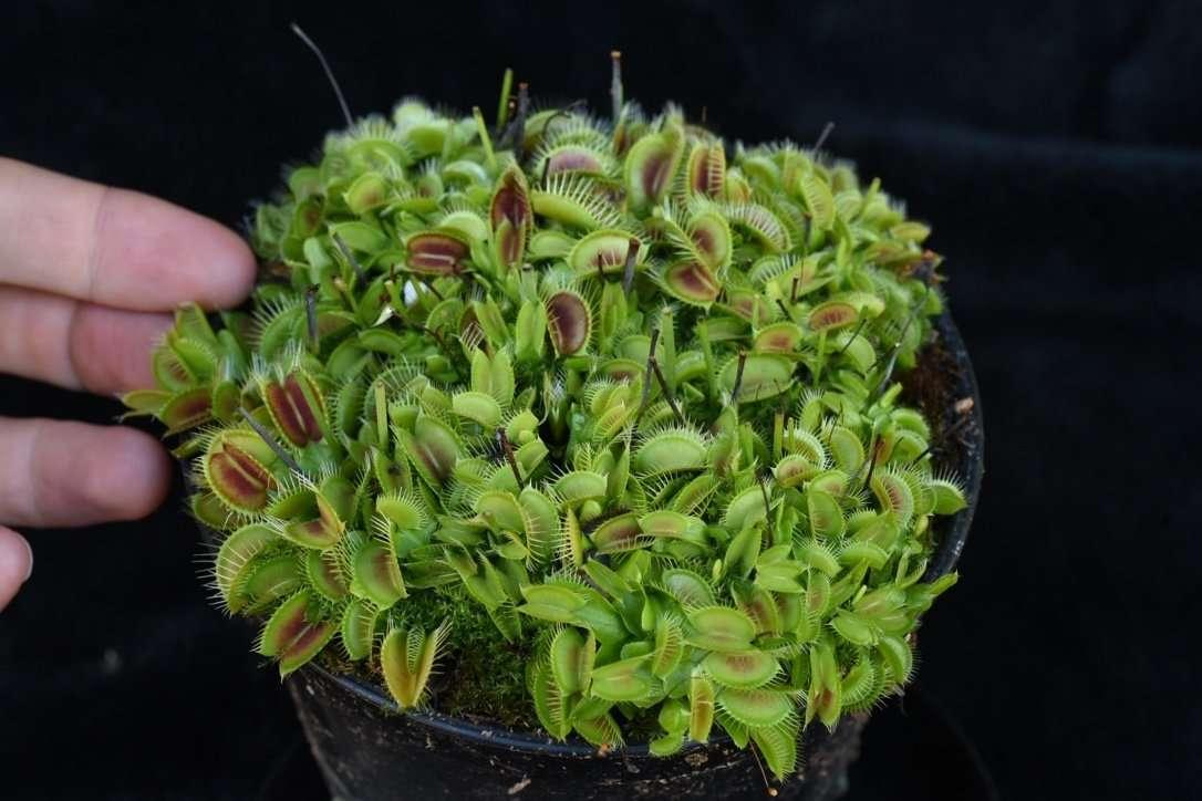 dionaea pygmy neotenic clone d size
