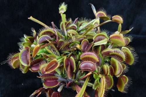 dionaea red dragon