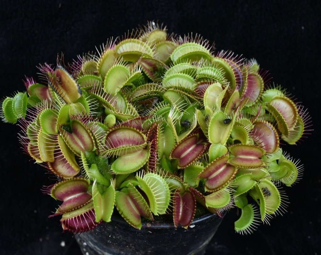 Typical Venus flytrap (dionaea muscipula)