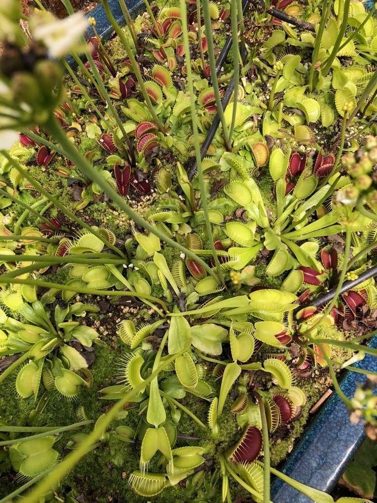 Dan winter typical flytraps