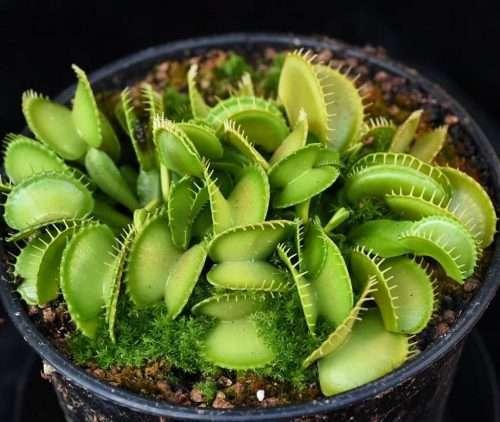 Venus flytrap harmony