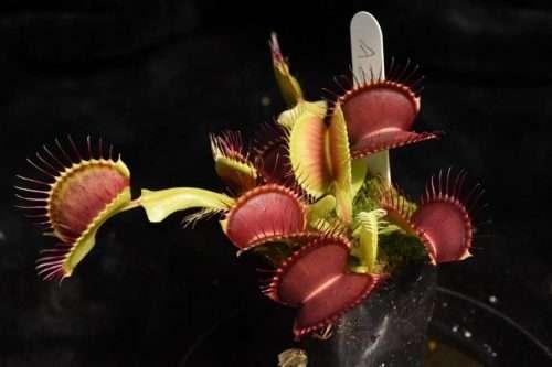 Dionaea muscipula A2