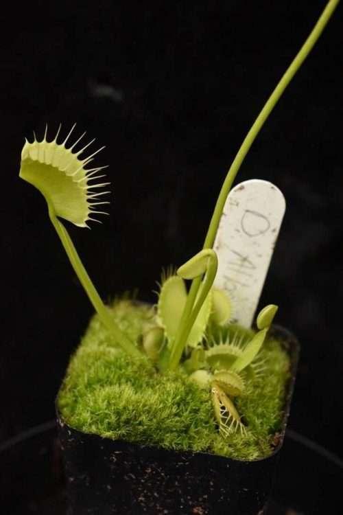 dionaea muscipula alba