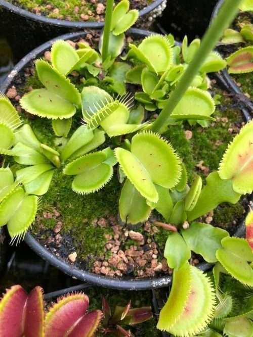 Venus flytrap guava sawtooth