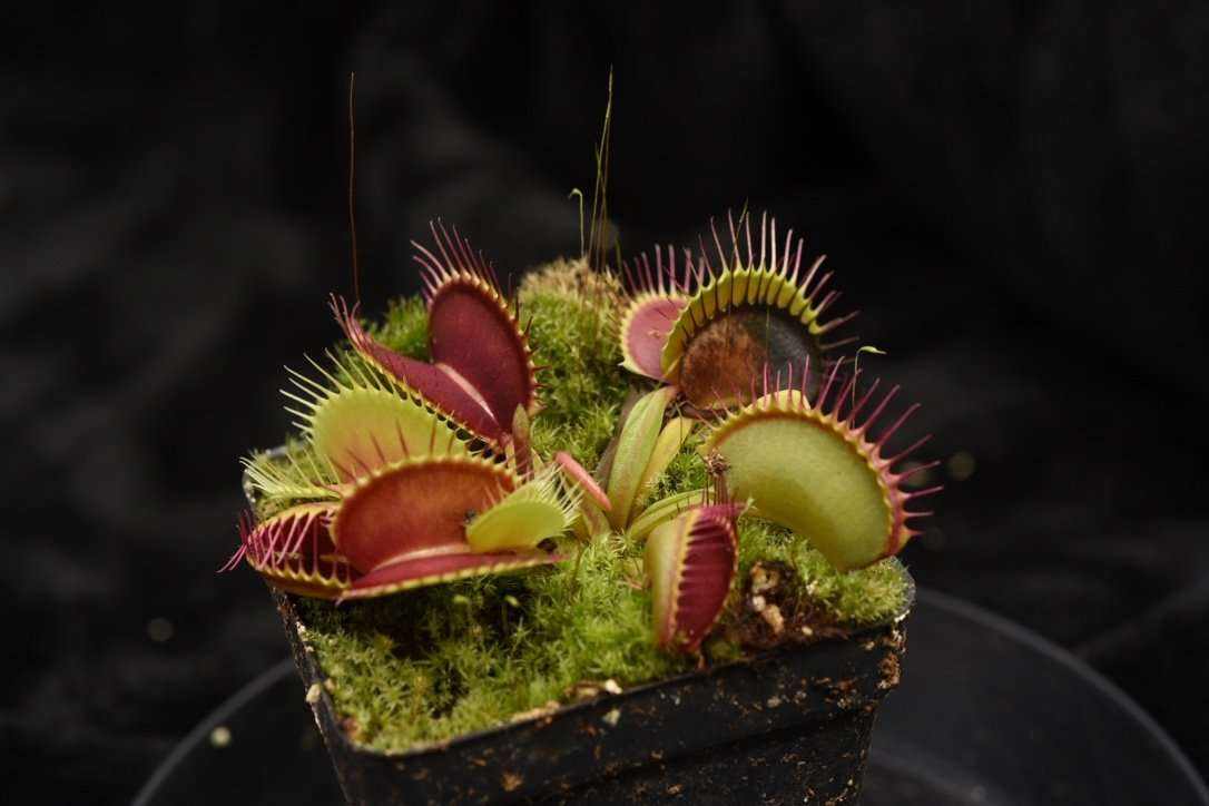 Venus flytrap giant