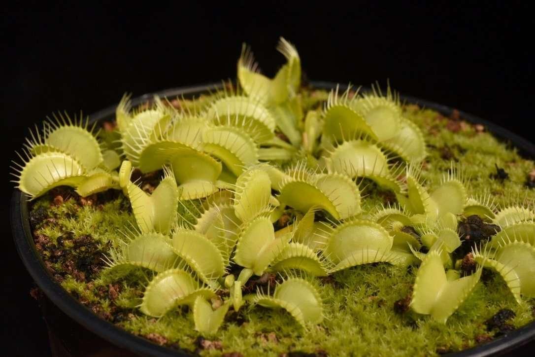 Venus flytrap Yellow