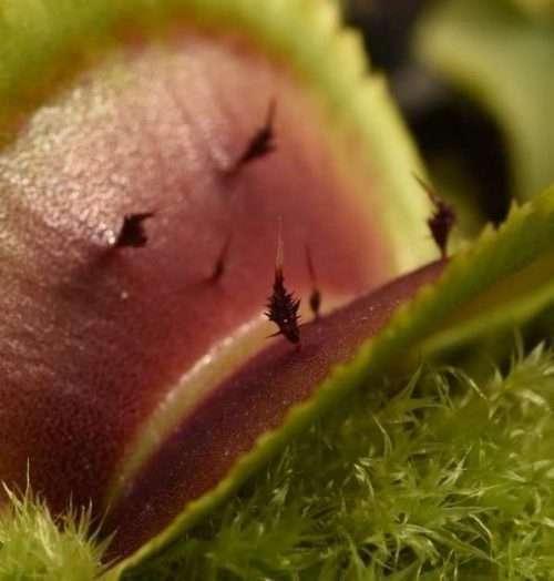 Unique cilia of Dionaea Guava Sawtooth
