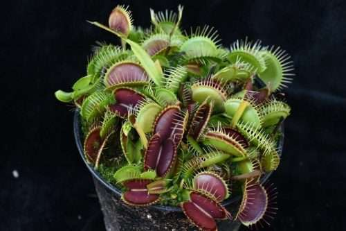 dionaea muscipula big vigorous
