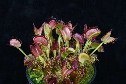 Venus flytrap dutch