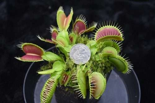 venus flytrap clumping cultivar