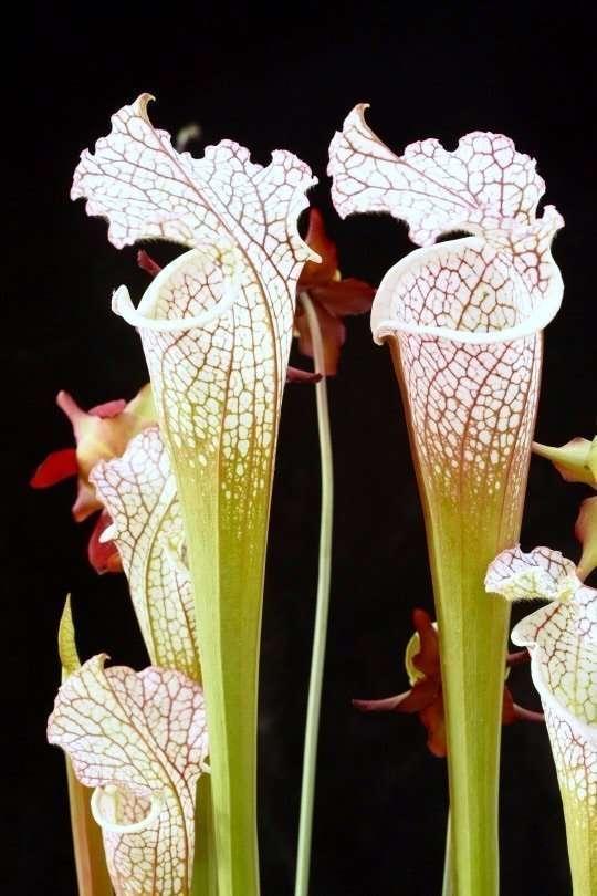 Sarracenia leucophylla Titan