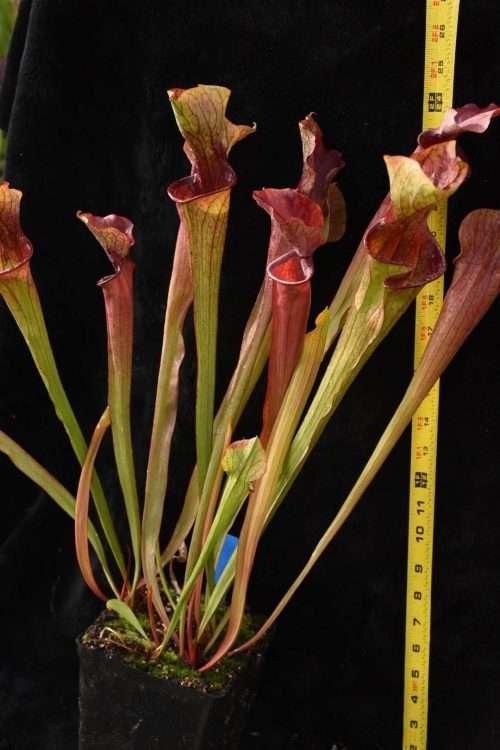 Sarracenia oreophila x Willisii
