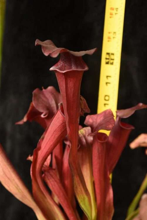 Sarracenia Black Widow x Ares