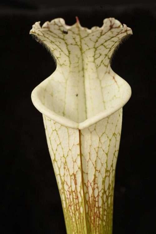 Sarracenia leucophylla Bay Minette DW