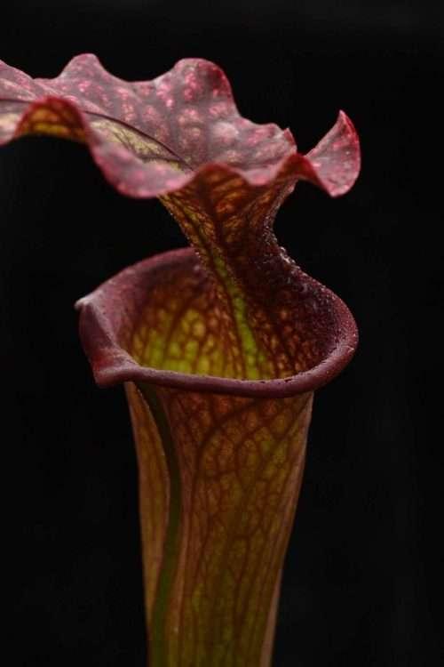 Sarracenia moorei Phil clone 2