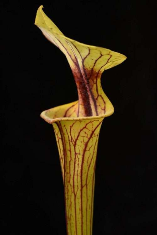Sarracenia flava Extreme Red Throat Bay Co FL Mike W.